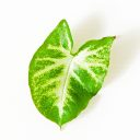 綠精靈合果芋