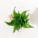 阿波羅/綠葉竹蕉