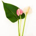 粉紅火鶴花