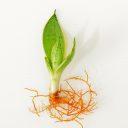 短葉虎尾蘭