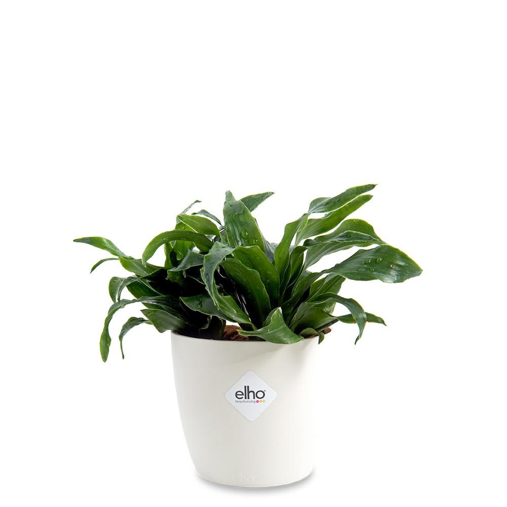 廁所盆栽,阿波羅盆栽