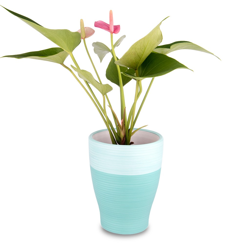 廁所盆栽,粉紅火鶴花盆栽