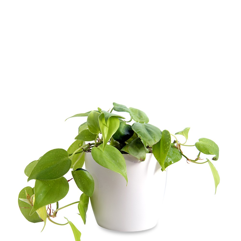 陽光心葉蔓綠絨盆栽
