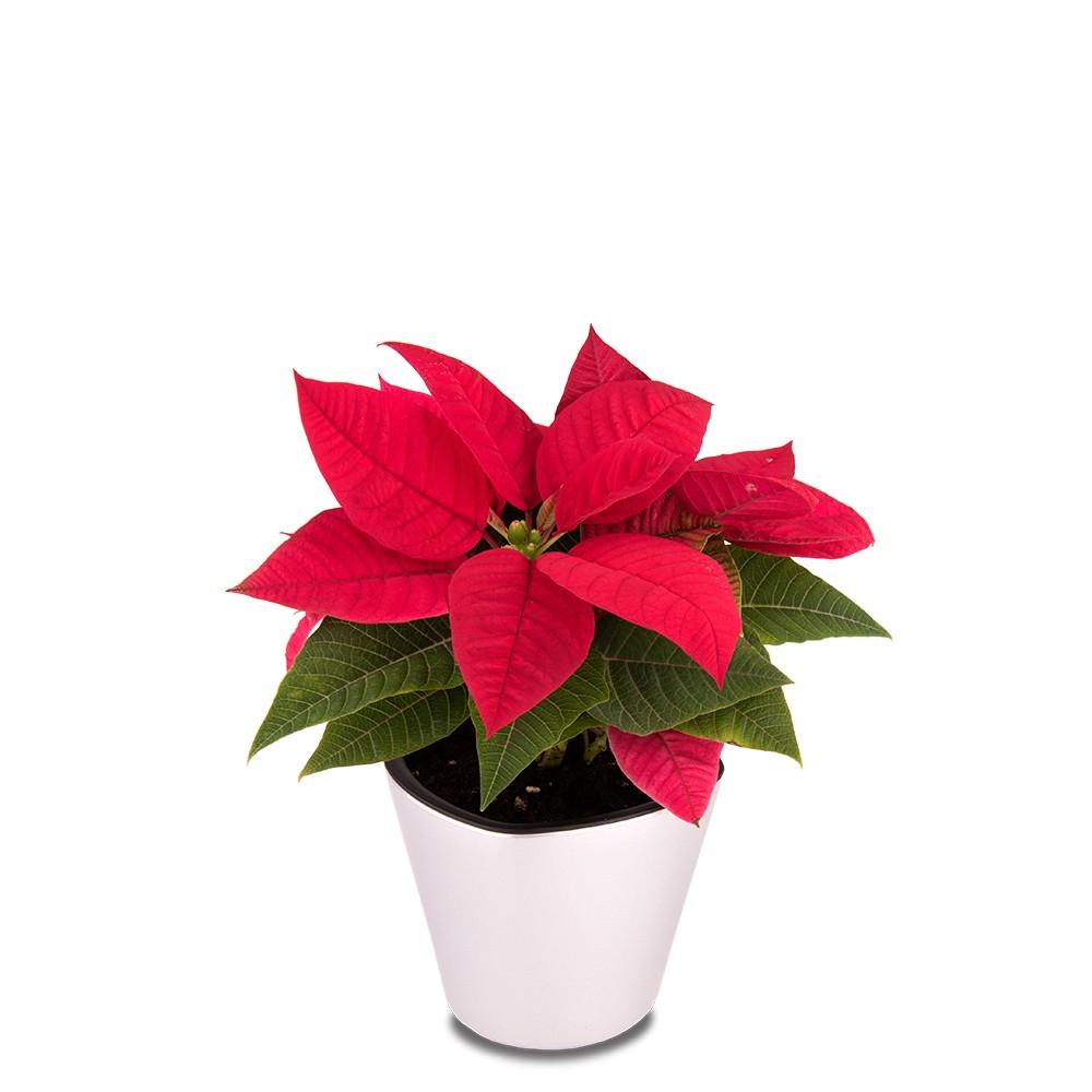 聖誕紅盆栽