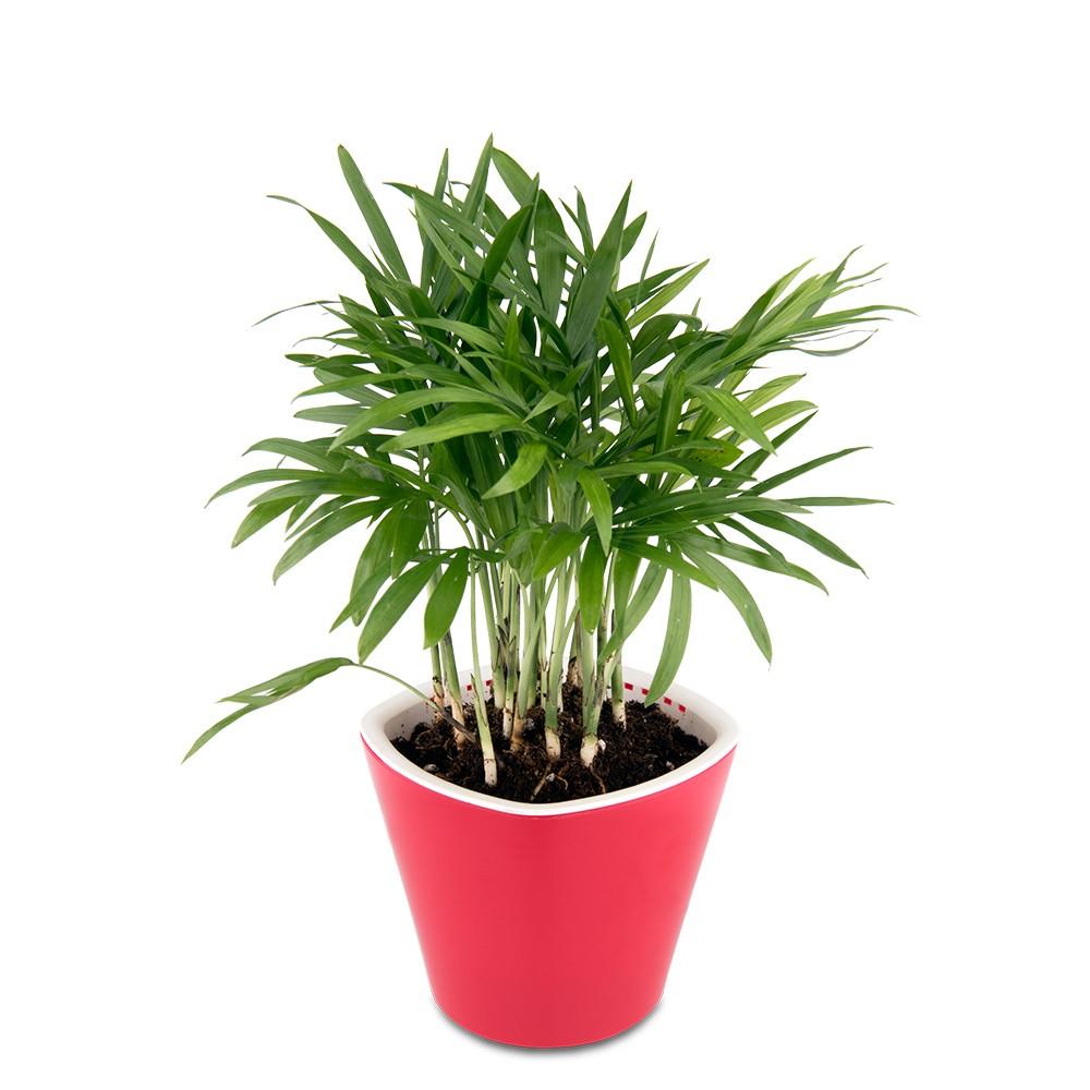 廁所盆栽,袖珍椰子盆栽