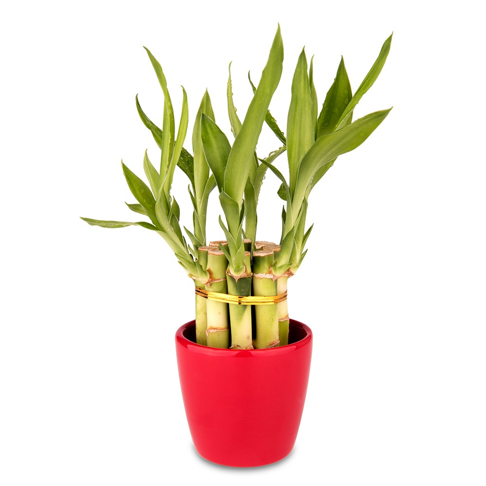 辦公室盆栽,開運竹盆栽