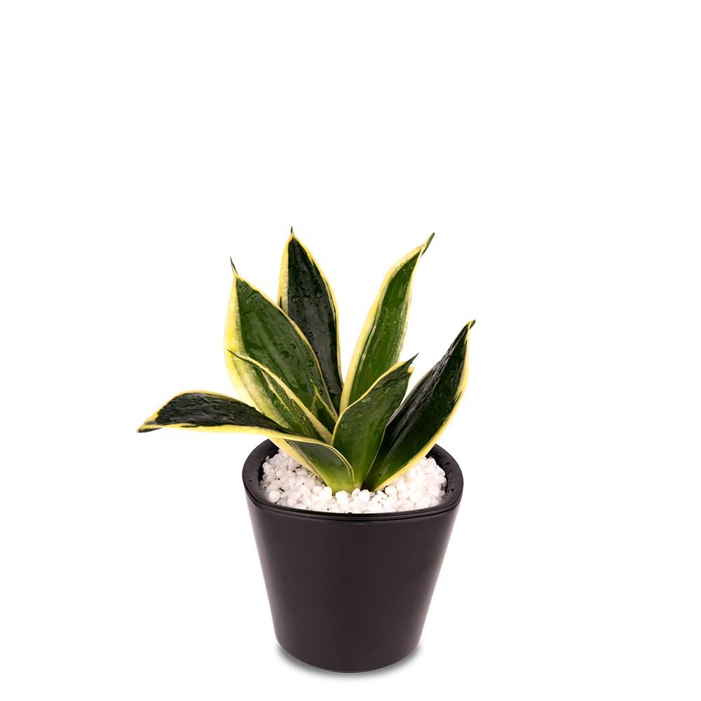 辦公室盆栽,黃邊虎尾蘭盆栽