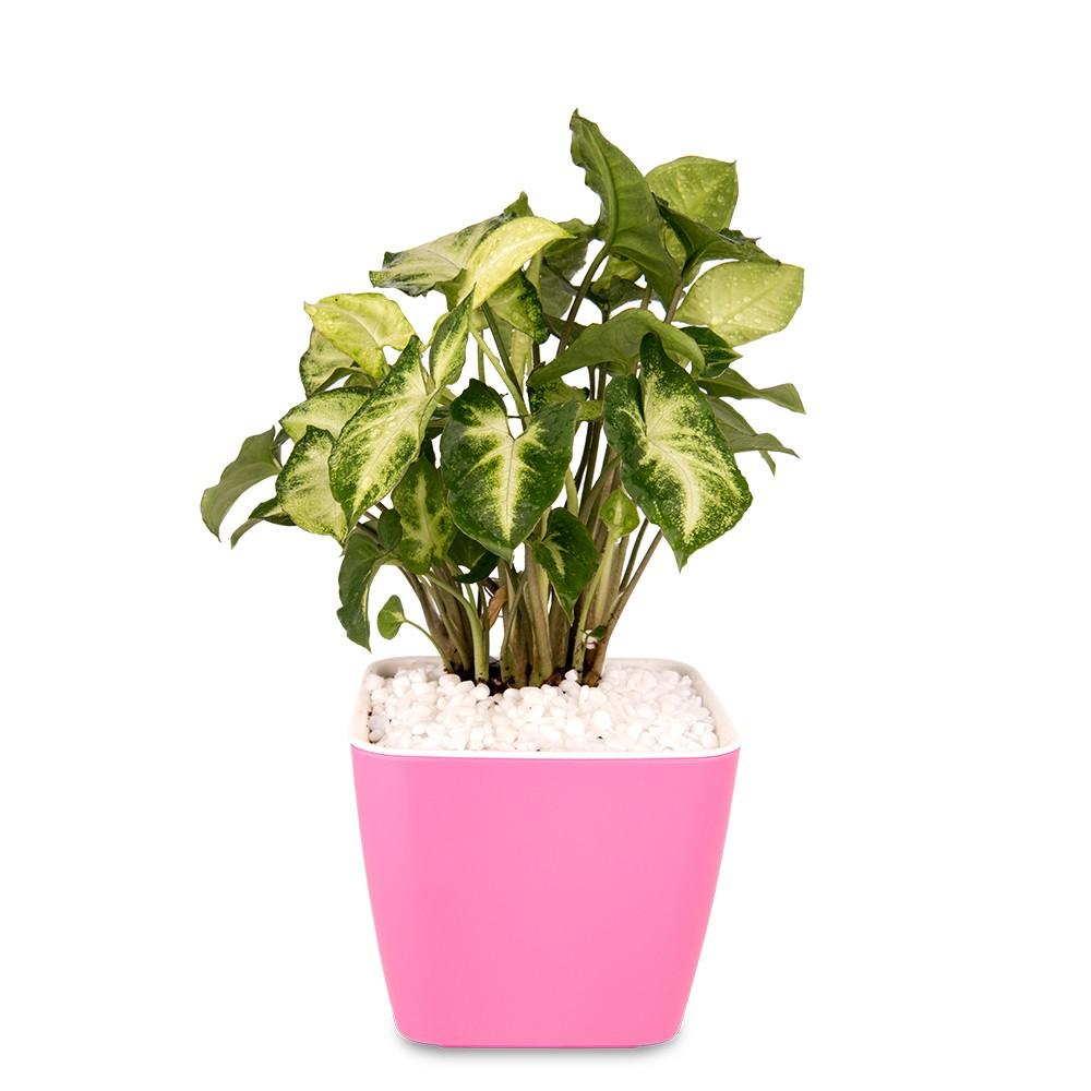 廁所盆栽,綠精靈合果芋盆栽