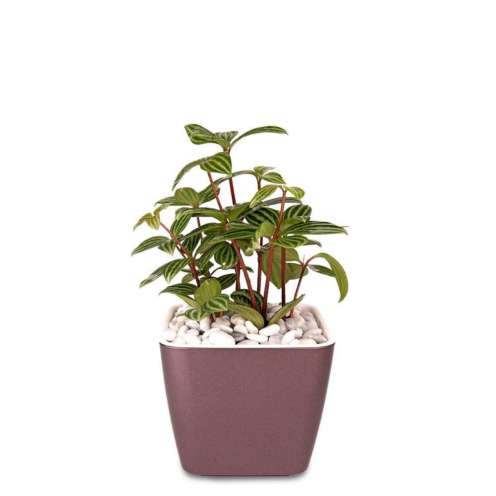 白脈椒草盆栽
