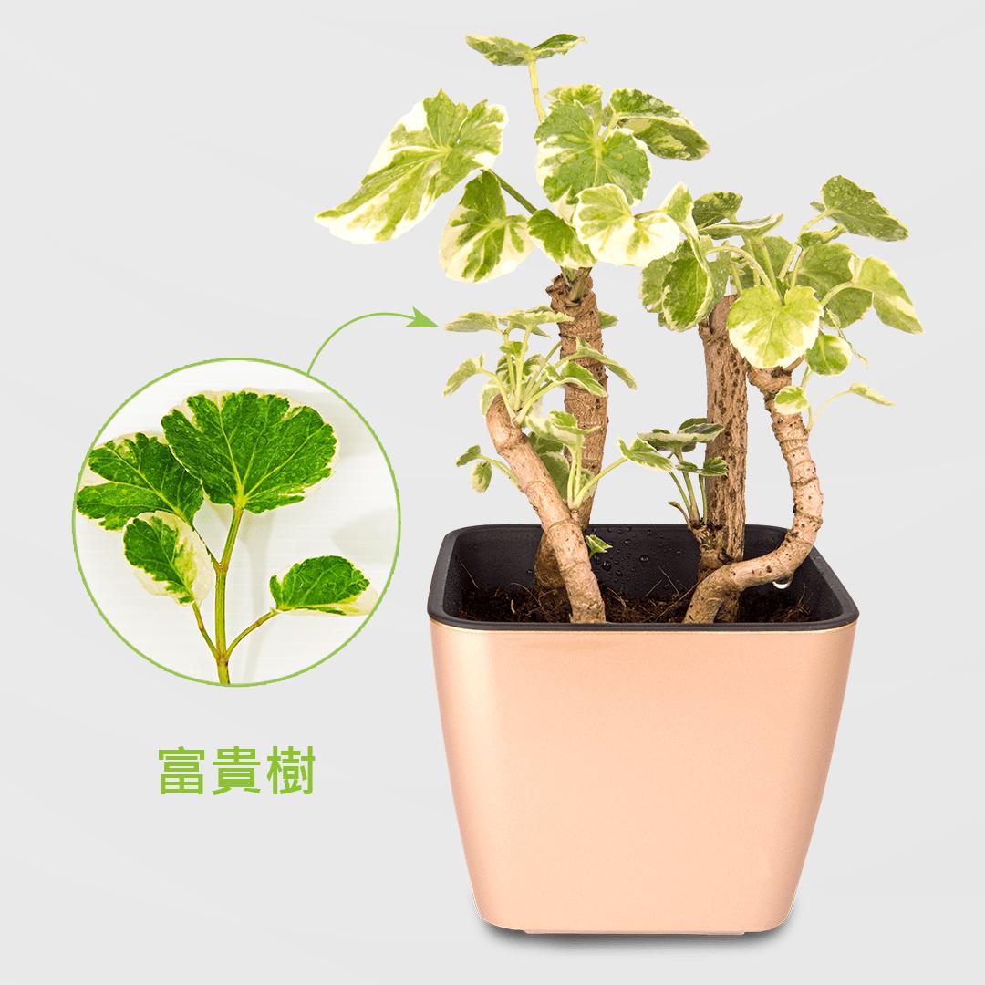 斑葉福祿桐盆栽