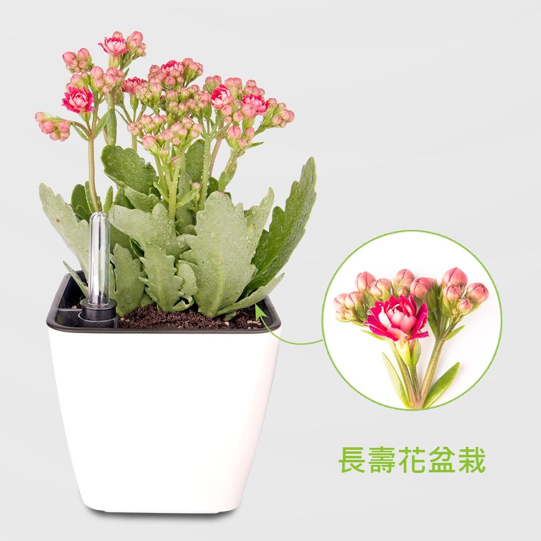長壽花盆栽
