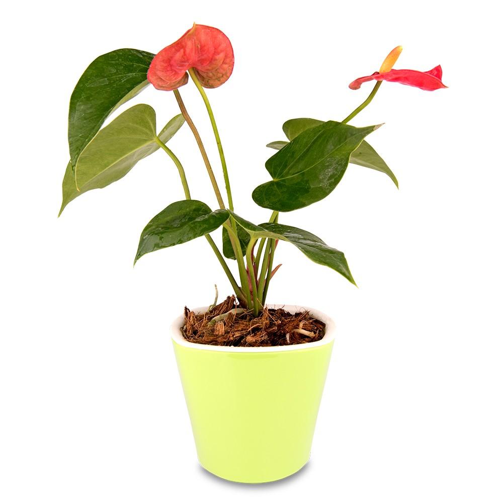 火鶴花盆栽
