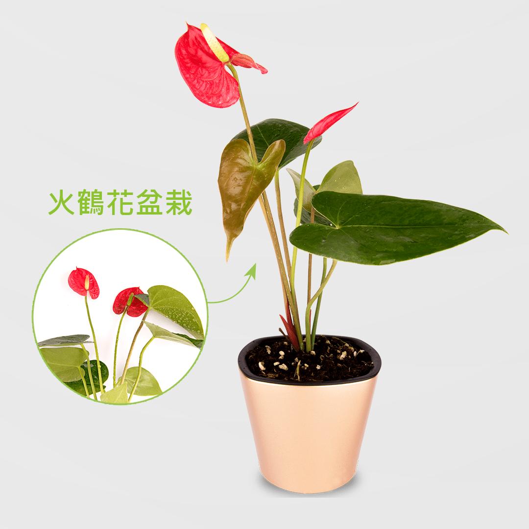 火鶴花盆栽 2Ustyle 風格圖悠 盆栽 花器 植物