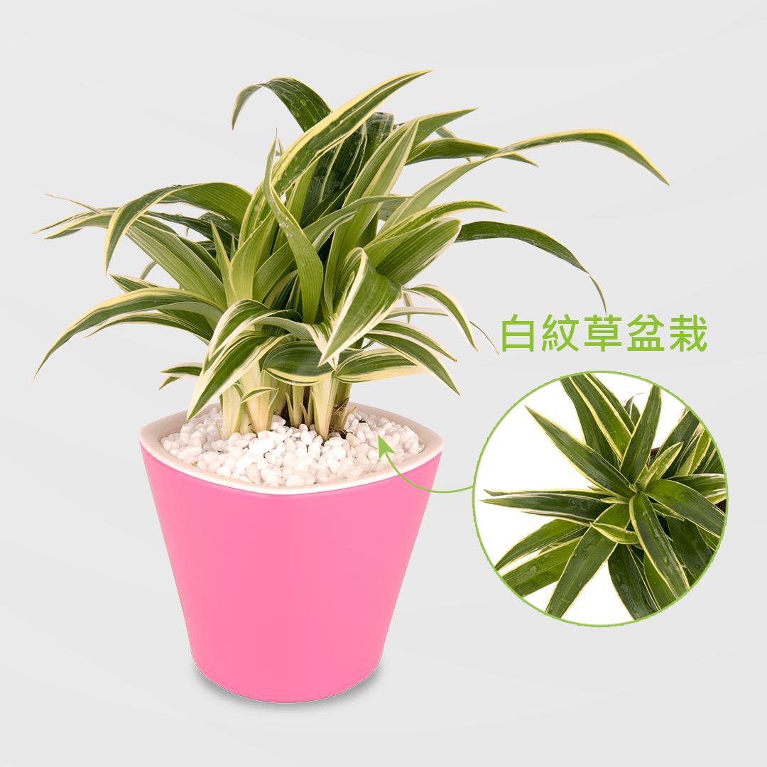 白紋草盆栽 2Ustyle 風格圖悠 盆栽 花器 植物