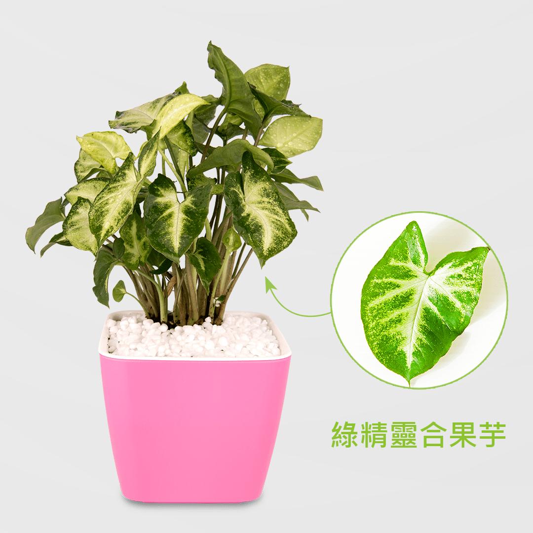 綠精靈合果芋盆栽