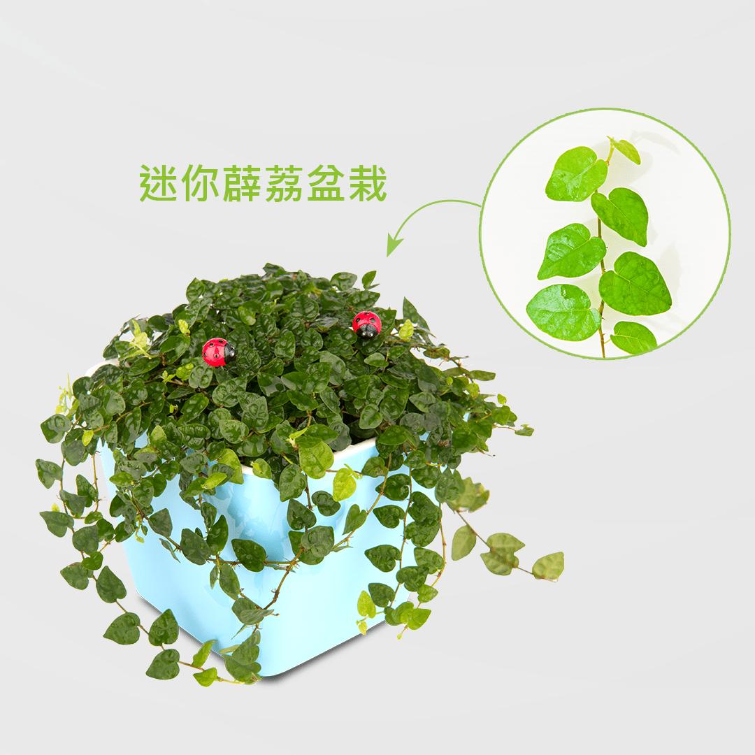 迷你薜荔盆栽