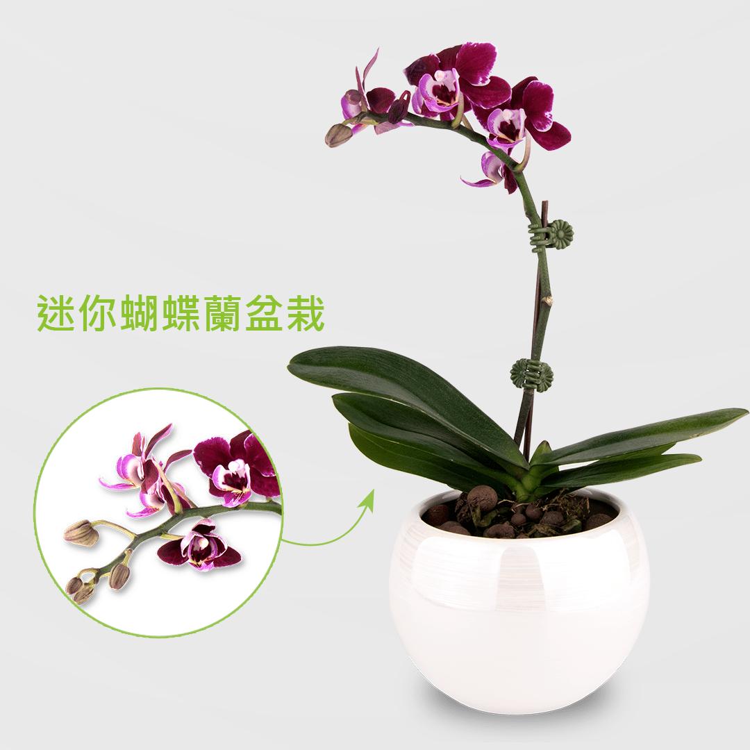 迷你蝴蝶蘭盆栽 2Ustyle 風格圖悠 盆栽 花器 植物