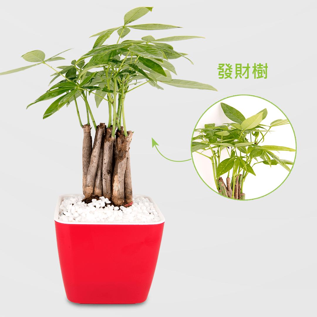 馬拉巴栗盆栽 2Ustyle 風格圖悠 盆栽 花器 植物