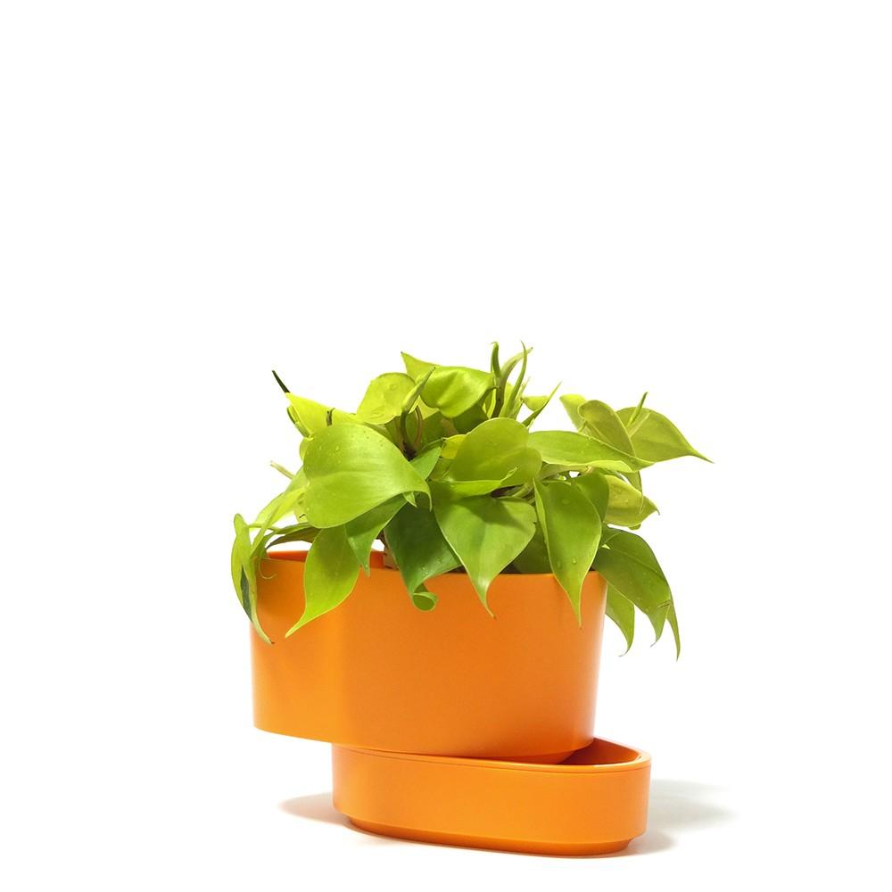 陽光心葉蔓綠絨盆栽,心葉蔓綠絨