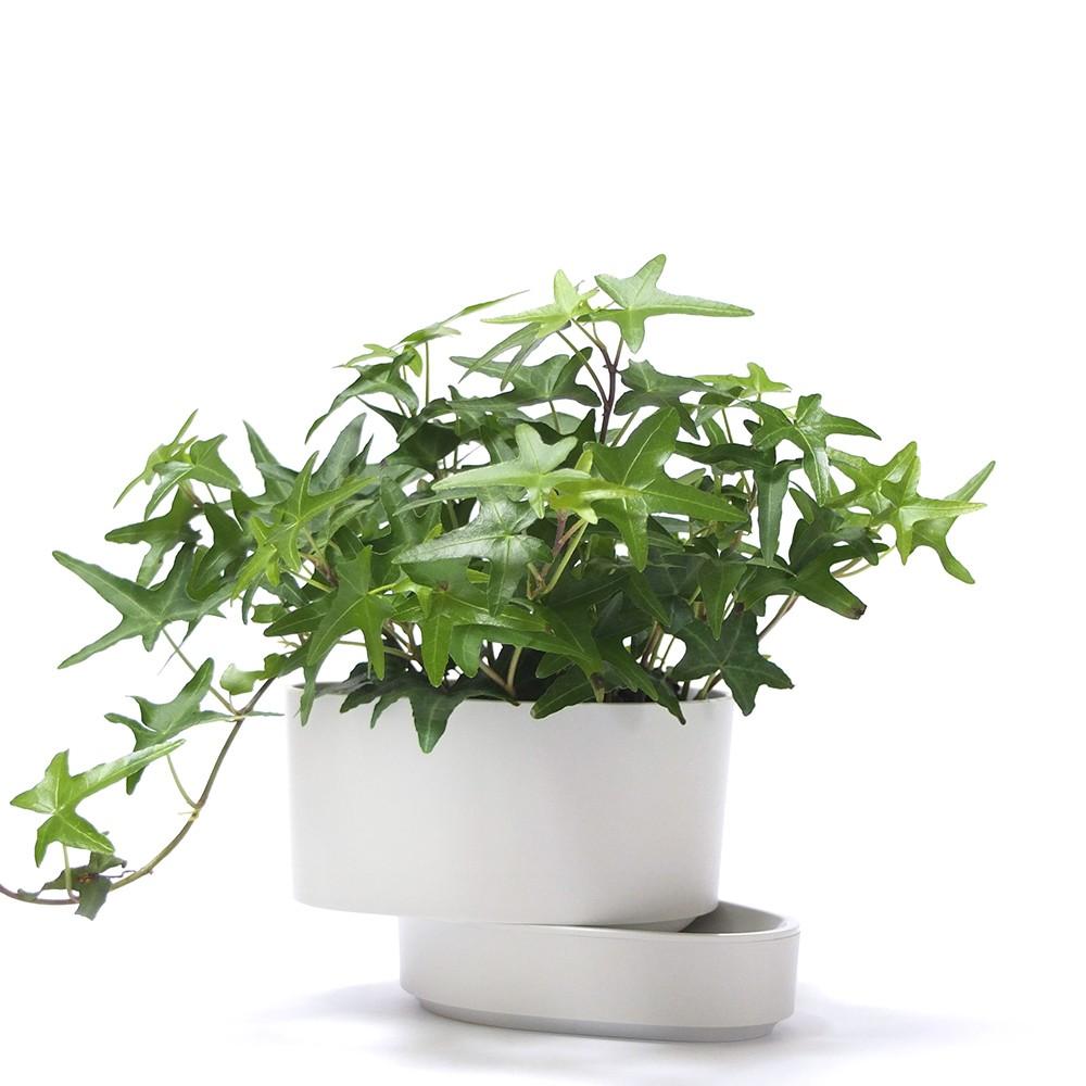 常春藤盆栽