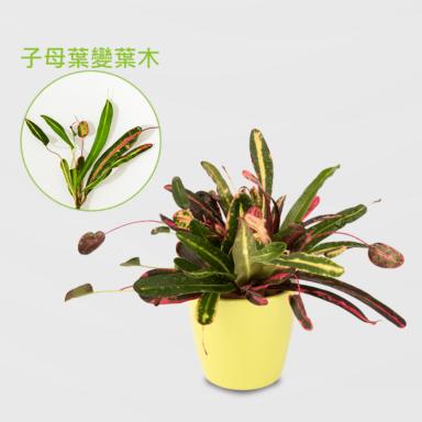 子母葉變葉木盆栽_配荷蘭盆黃