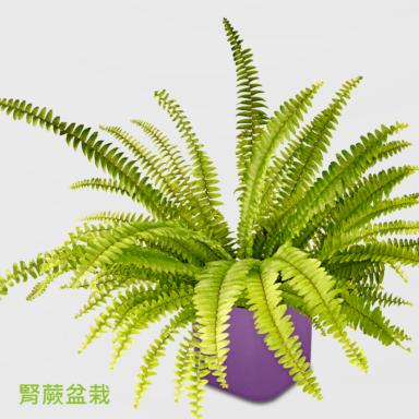 波士頓腎蕨盆栽_配質感方紫