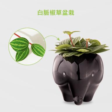 白脈椒草盆栽_配小象黑