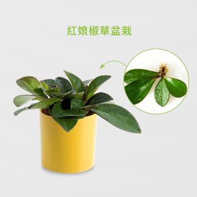 紅娘椒草盆栽_配晶鑽圓黃