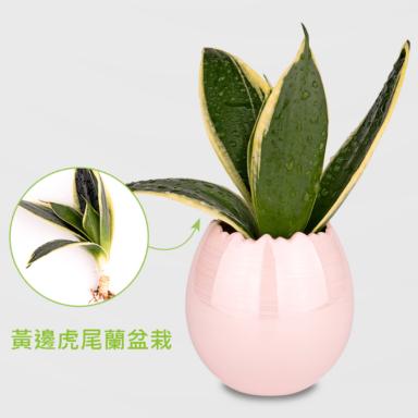 虎尾蘭盆栽_配蛋殼粉