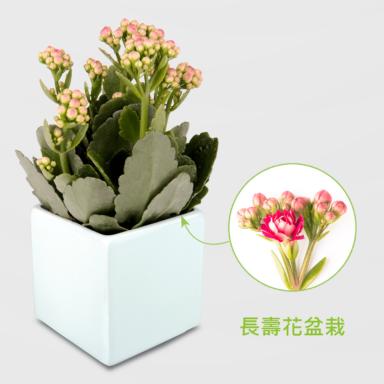 長壽花盆栽_配8cm方盆湖水綠