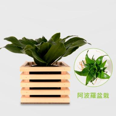 阿波羅盆栽_配方木