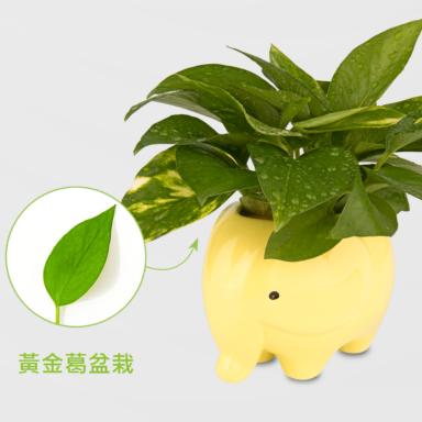 黃金葛盆栽_配小象黃