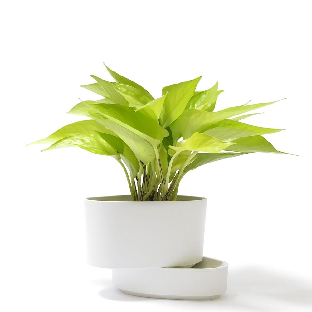 萊姆黃金葛盆栽