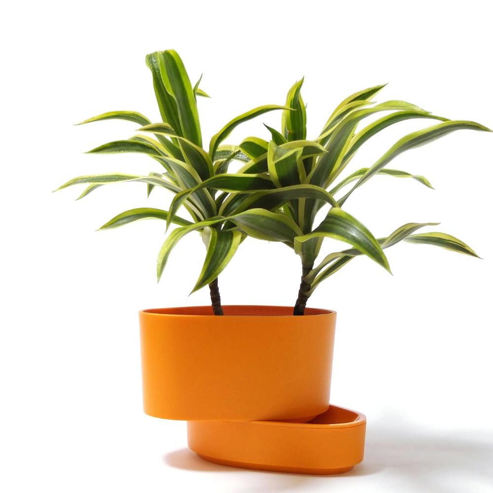 黃邊百合竹盆栽