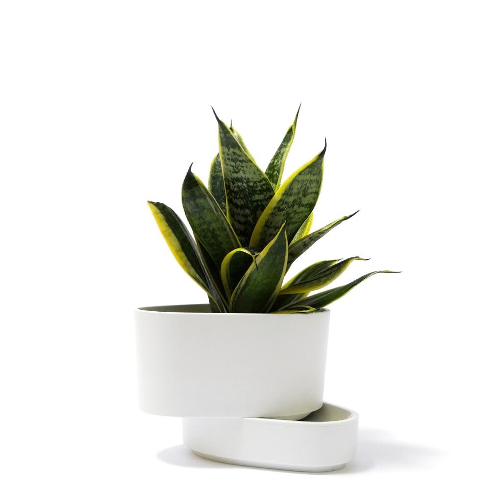 短葉虎尾蘭盆栽