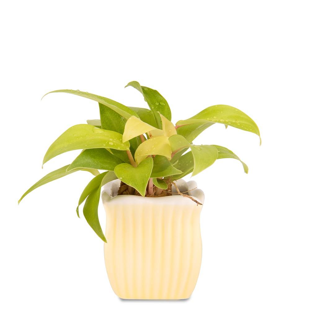 陽光鋤葉蔓綠絨盆栽