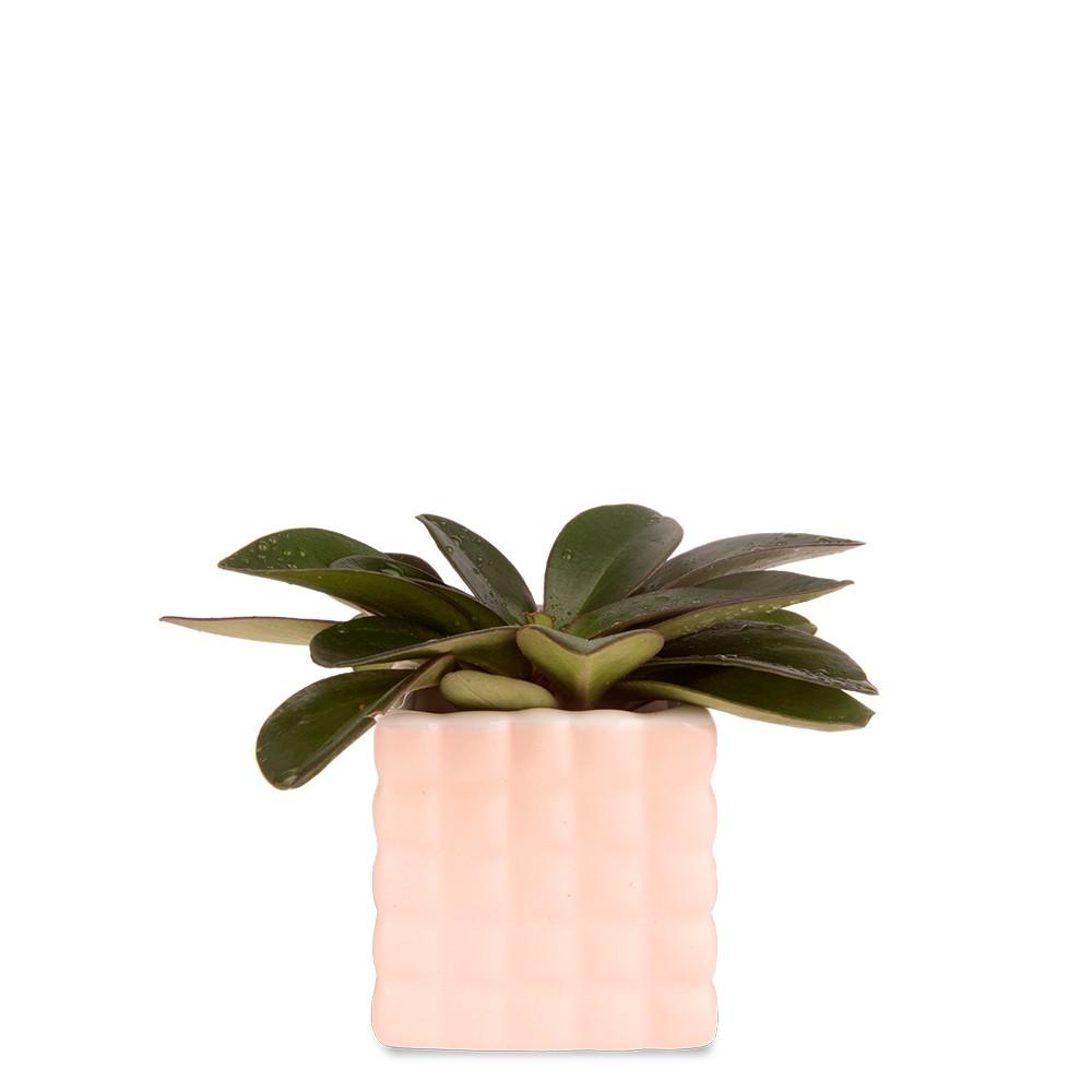 紅娘椒草盆栽