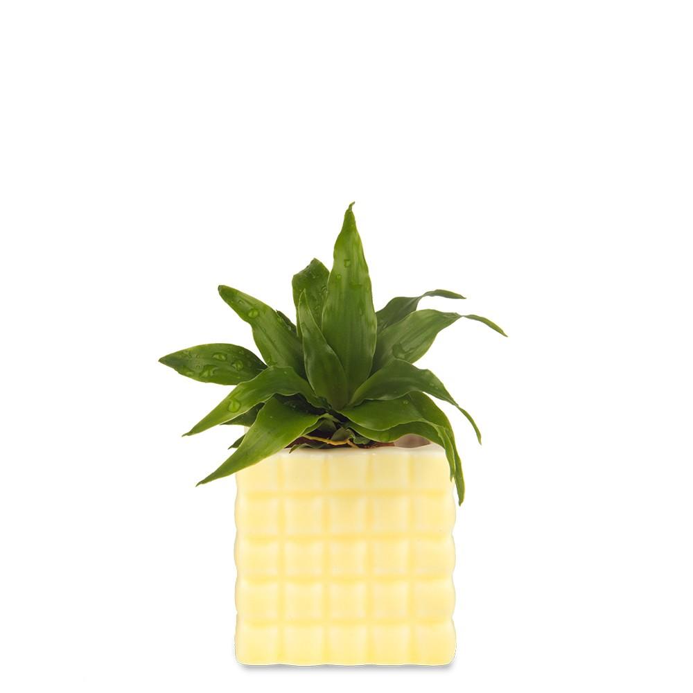 阿波羅盆栽