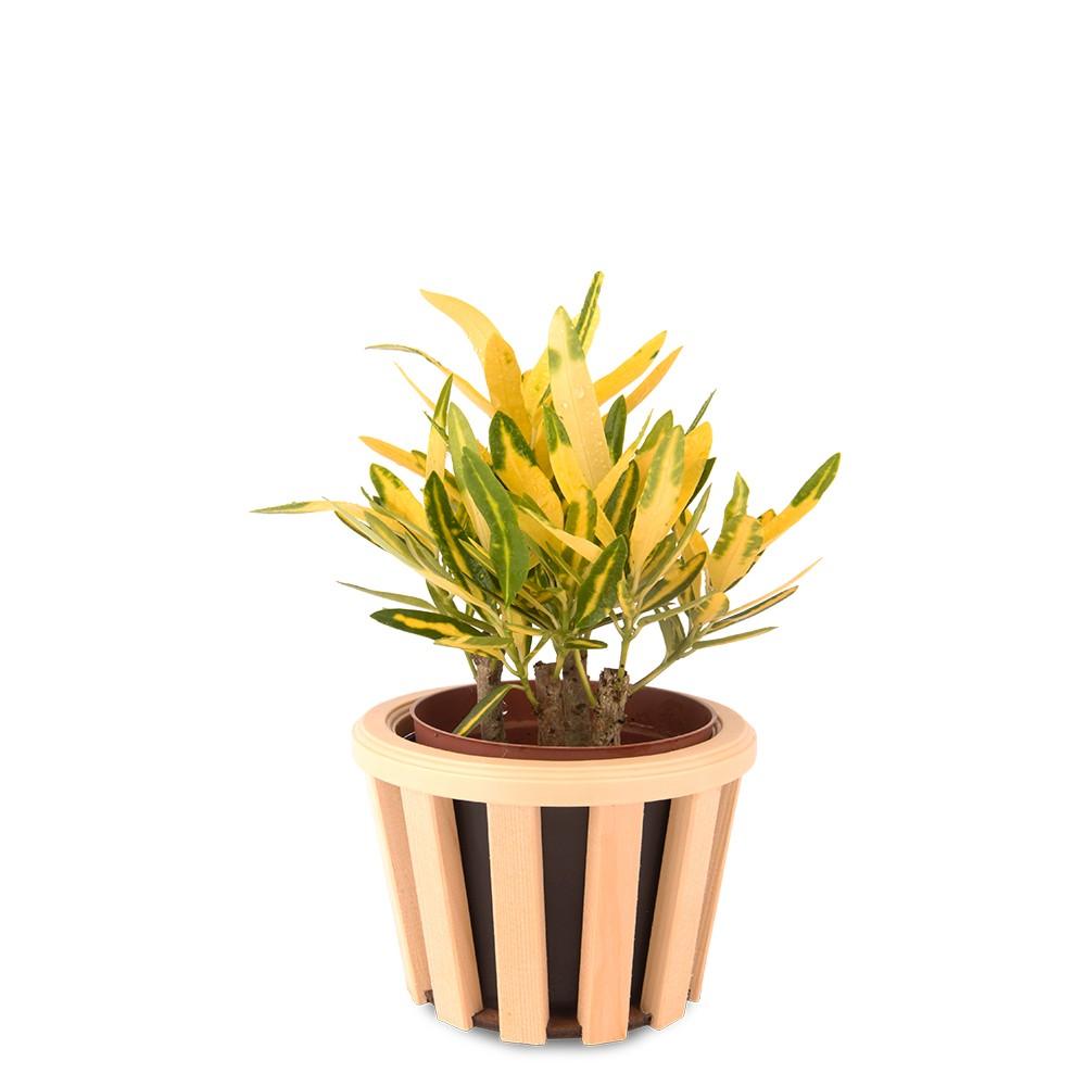 金手指變葉木盆栽