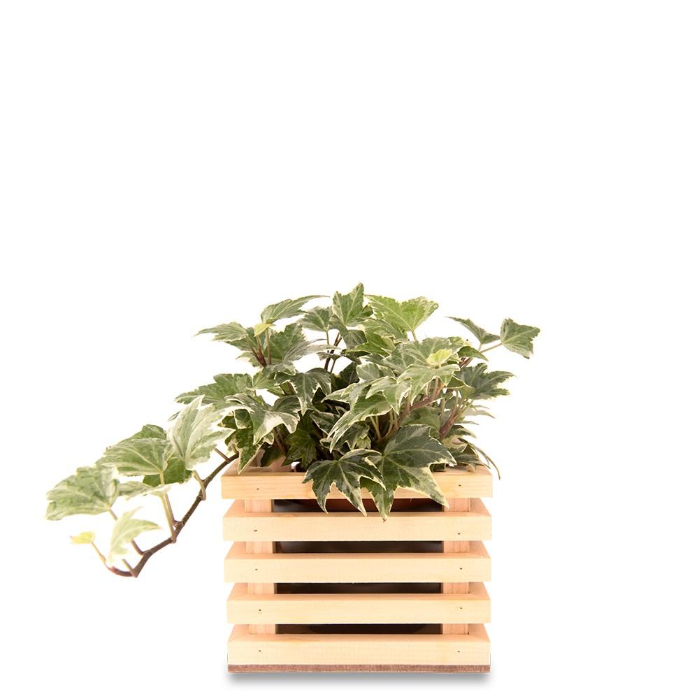 斑葉常春藤盆栽
