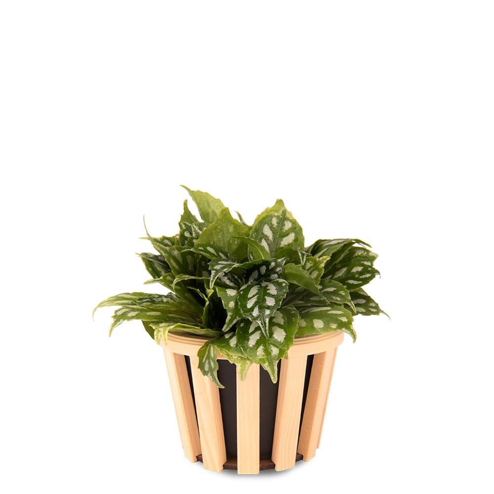冷水草盆栽