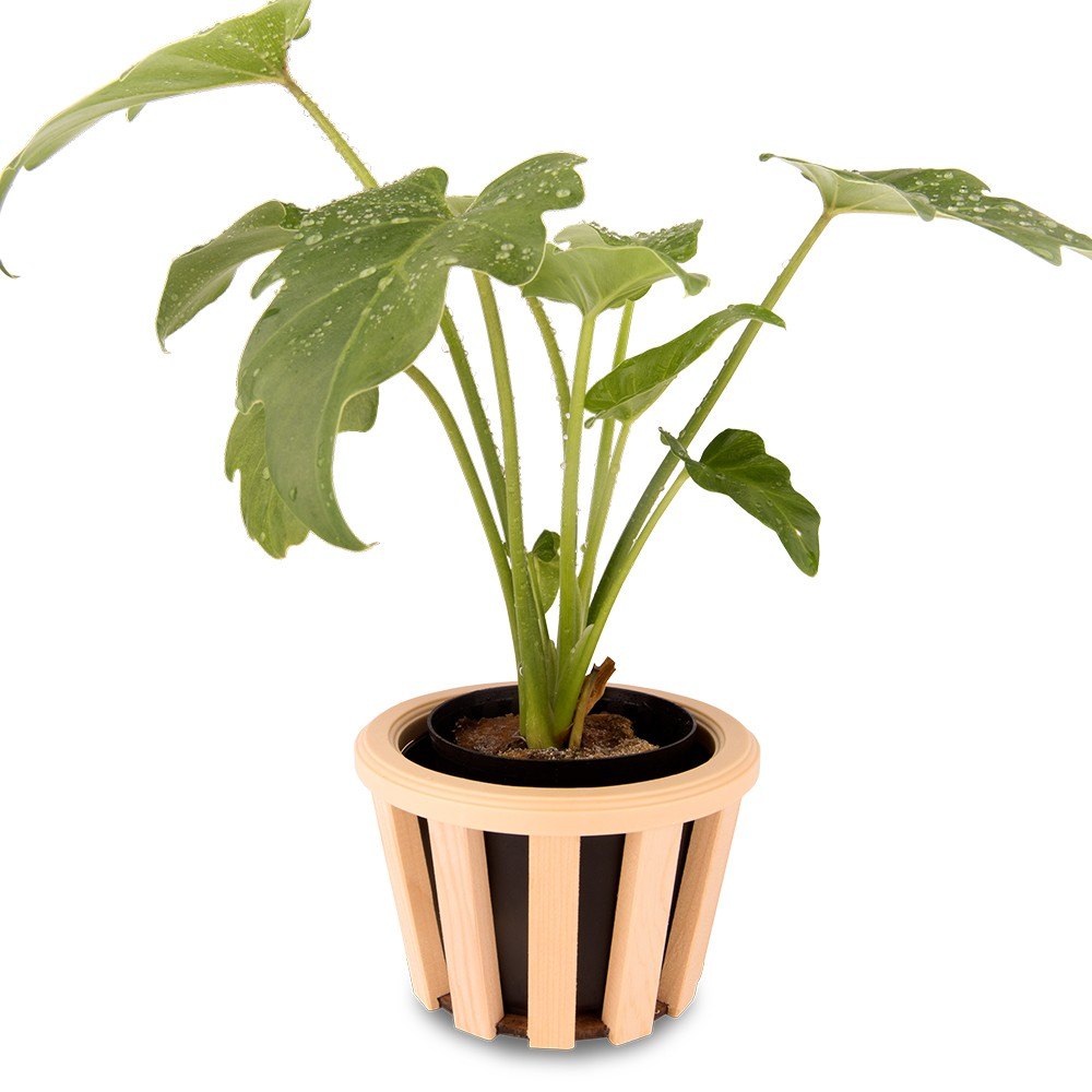 奧利多蔓綠絨盆栽