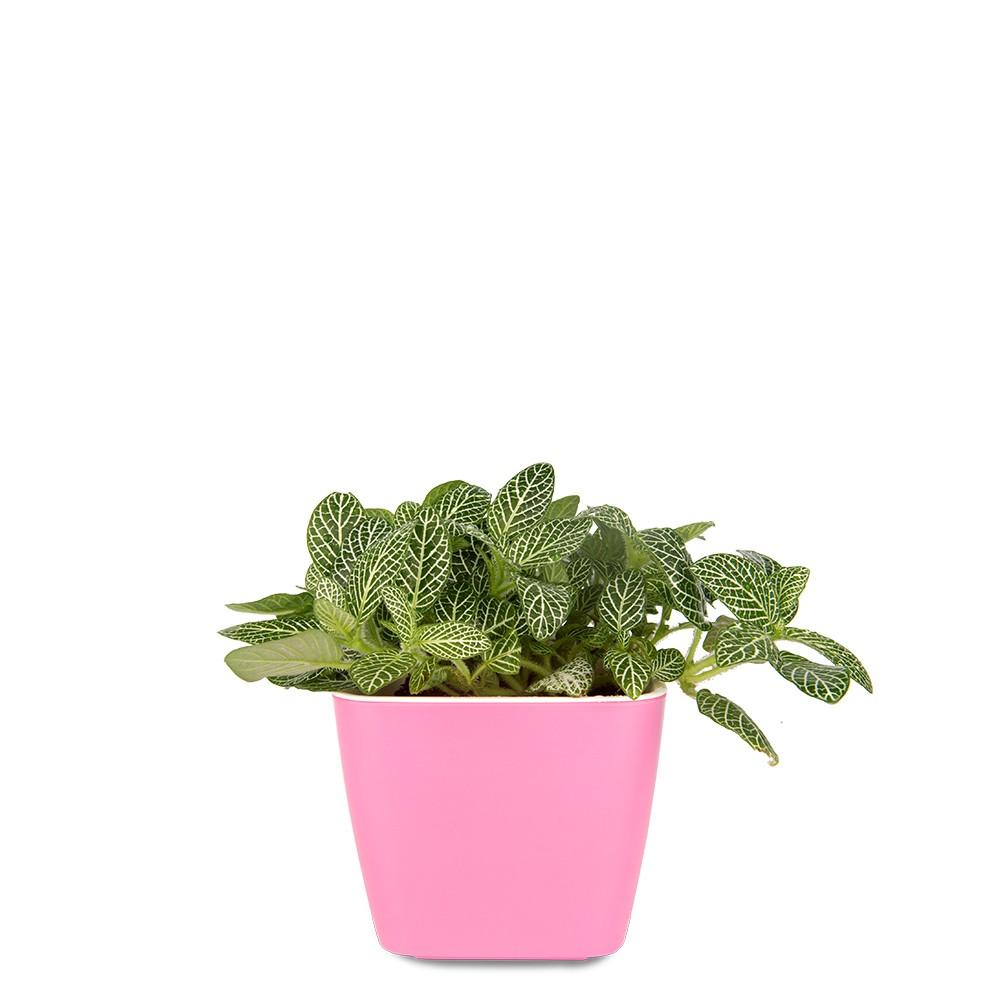 白網紋草盆栽