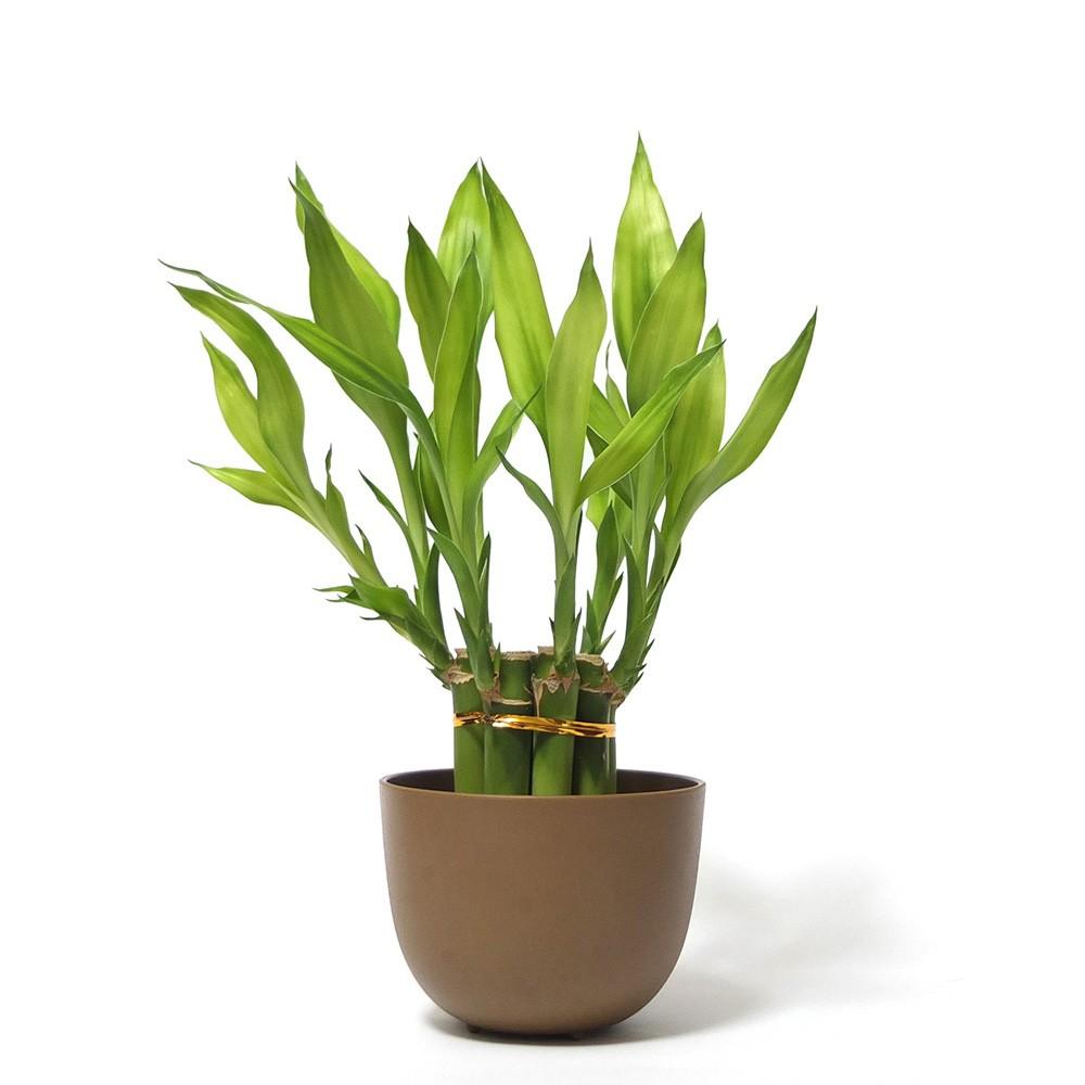 開運竹盆栽
