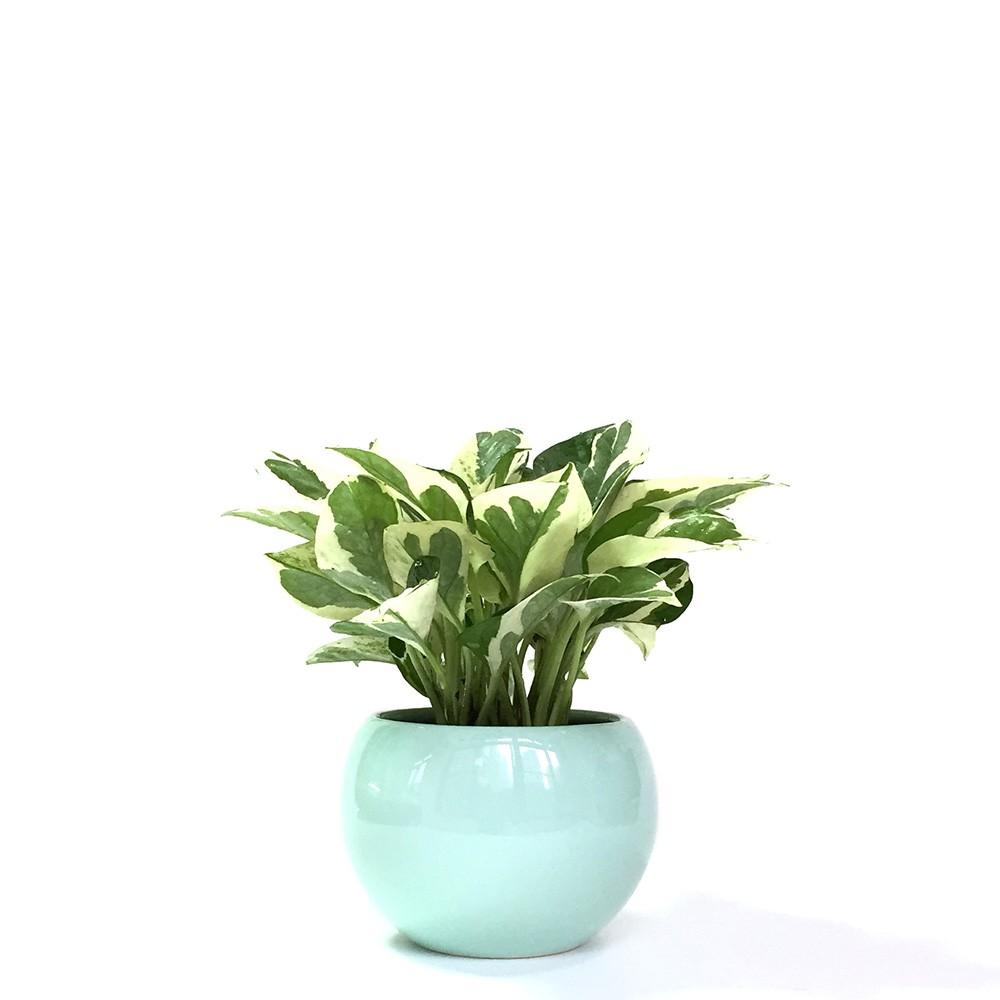 白金葛盆栽