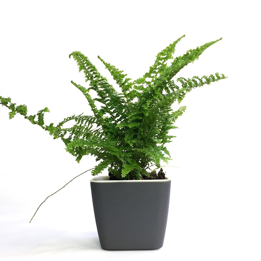 蕾絲腎蕨盆栽