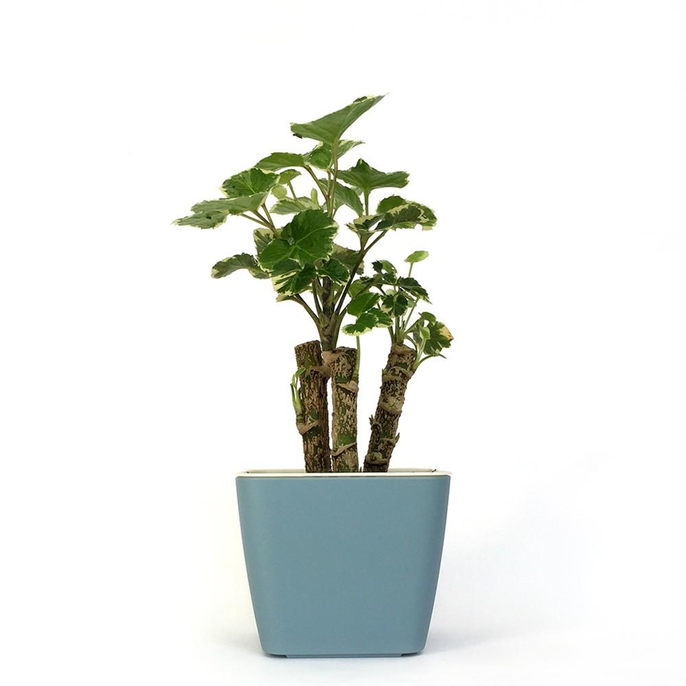 斑葉福祿桐 (富貴樹) 盆栽
