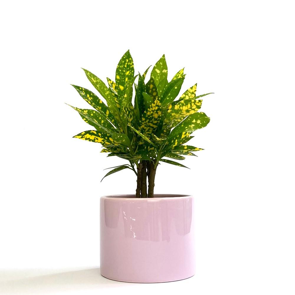 撒金變葉木盆栽