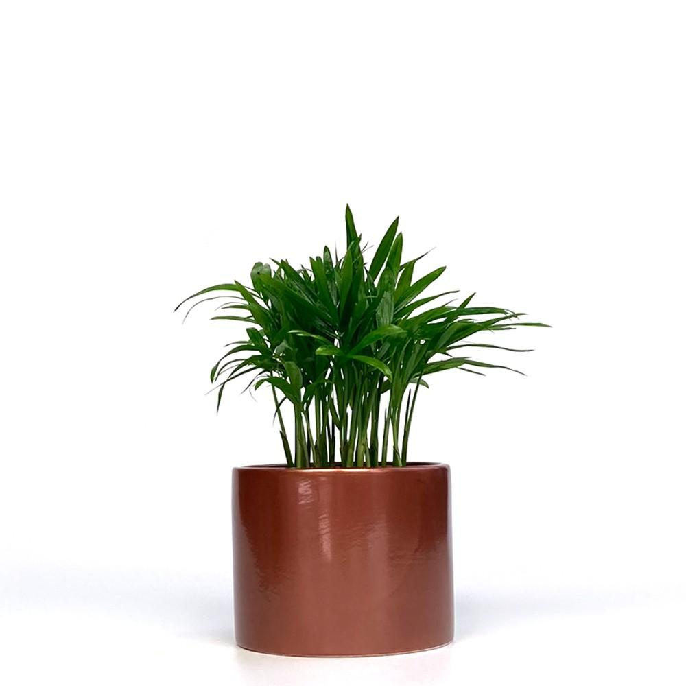 迷你袖珍椰子盆栽
